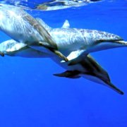Swim with dolphins in their natural ocean environment.