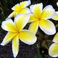 Hawaii Plumeria