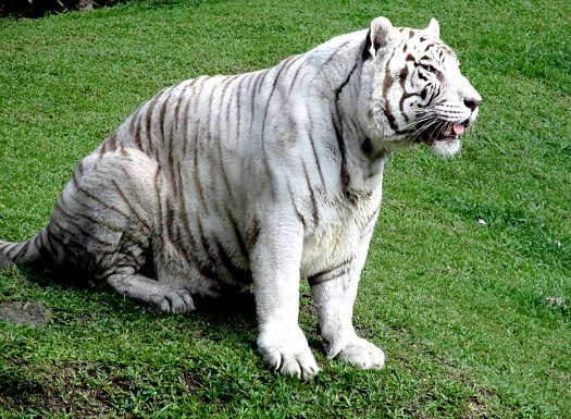 White Bengal Tiger Namaste
