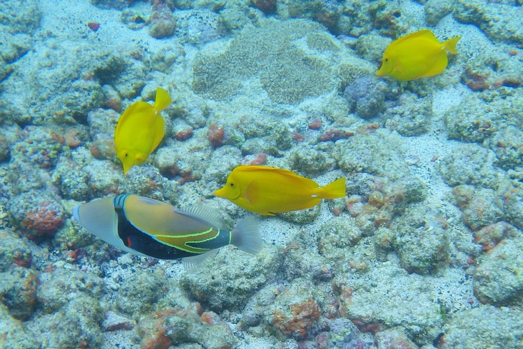 Reef Triggerfish and Yellow Tang