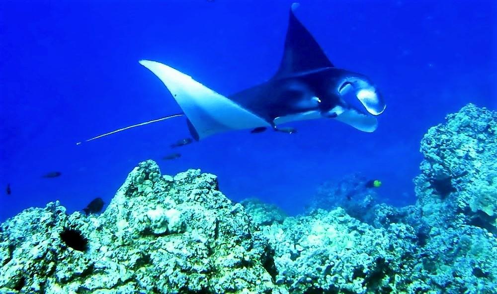 Reef Manta on the Kona Coast