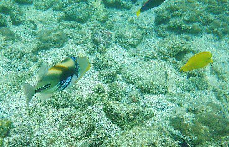 Reef Triggerfish or Humuhumunukunukuapua'a