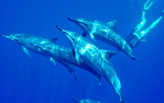 Snorkeling and swimming with dolphins in Hawaii - Big Island