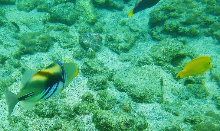 Humuhumunukunukuapua'a or Reef Triggerfish