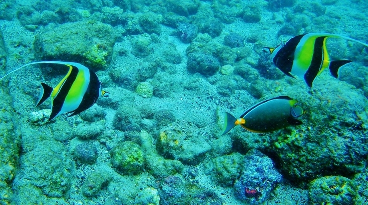 Moorish Idol Big Island Snorkeling