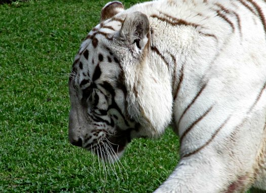 The White Bengal Tiger known as Namaste