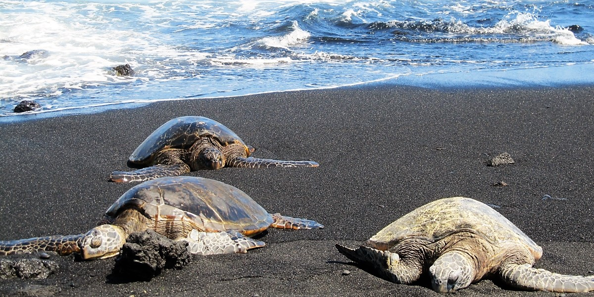 Green Sea Turtles (Honu) at Punalu'u Black Sand Beach