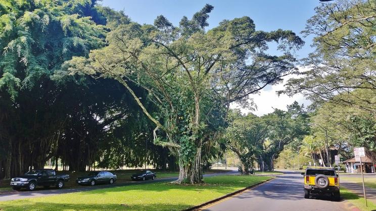 Banyan Drive, Hilo