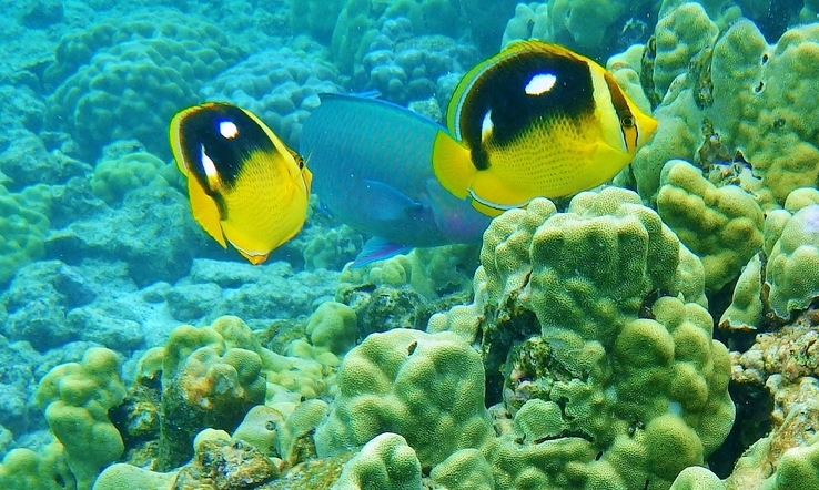 Four Spotted Butterflyfish