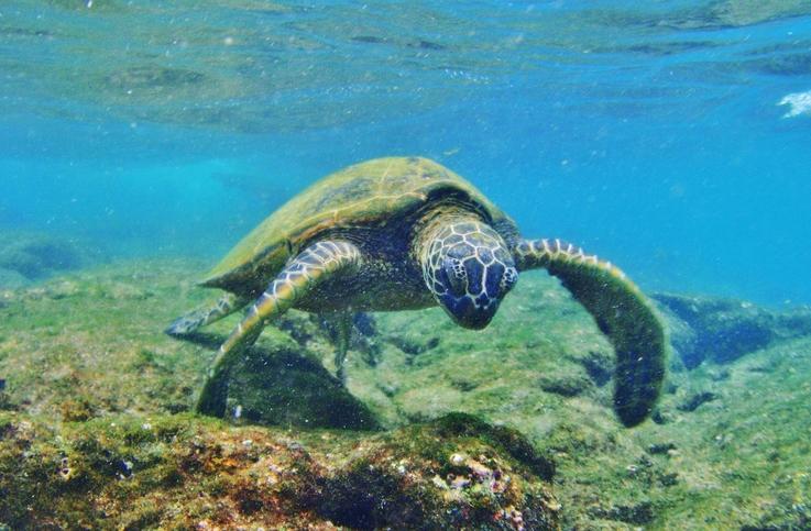 Honu (Green Sea Turtle)