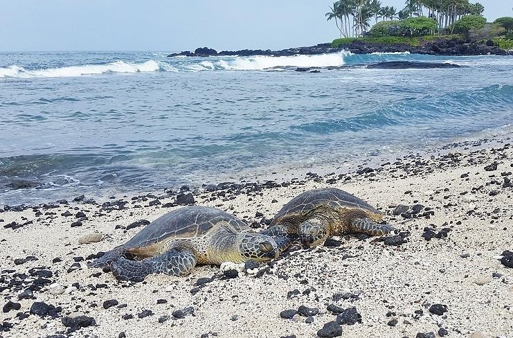 Kuki'o Beach Honu