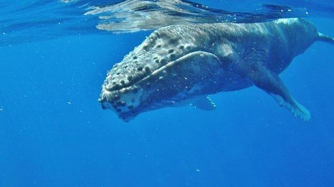 Humpback Whale watching in Hawaii