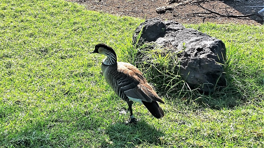 Hawaiian goose Nene, the state bird
