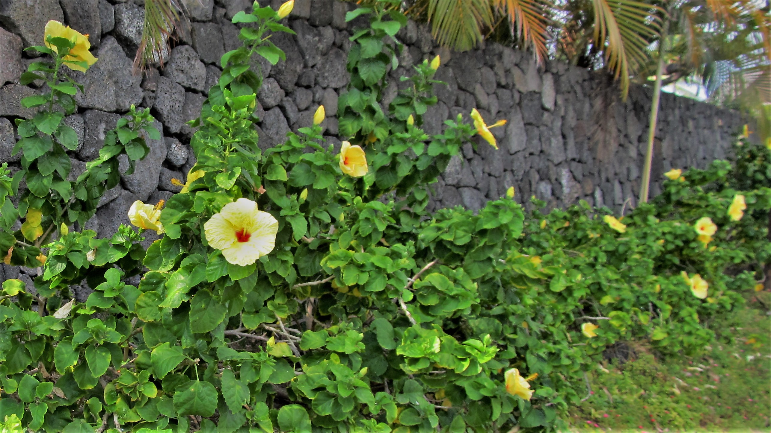 Yellow Hawaiian Hibiscus, the Hawaii State Flower