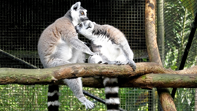 Cute Ringtailed Lemurs grooming at the Pana'ewa Rainforest Zoo