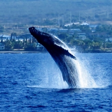 You are likely to spot Humpback Whales doing their thing.