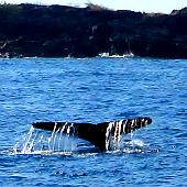 Humpback whale fluke near Kona