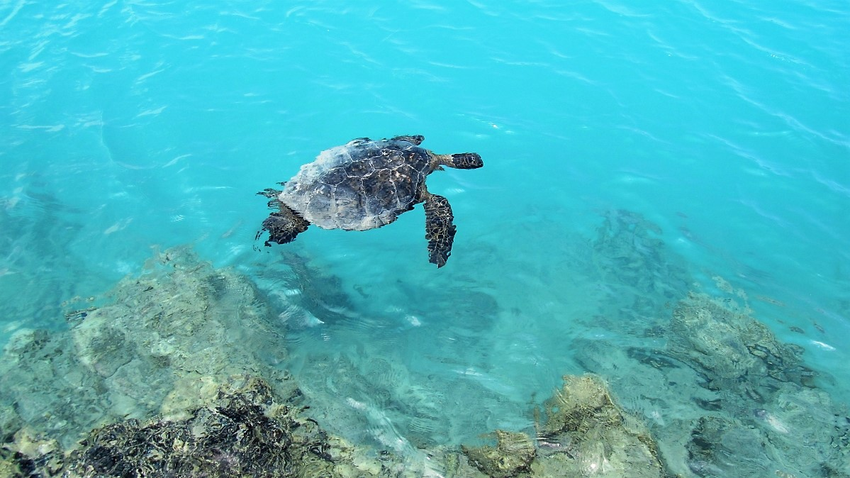 Green Sea Turtle at Kiholo Bay