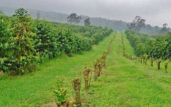 Hualalai Coffee Farm