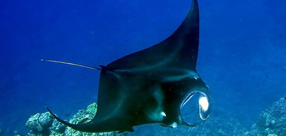 Big Island Hawaii Manta Ray
