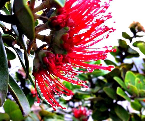 'O'hia Lehua blossoms