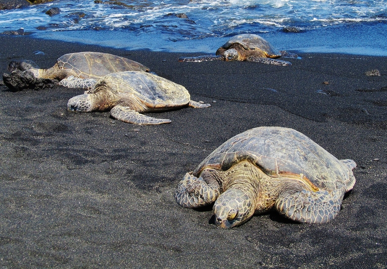 Green Sea Turtles at Punalu'u Black Sand Beach