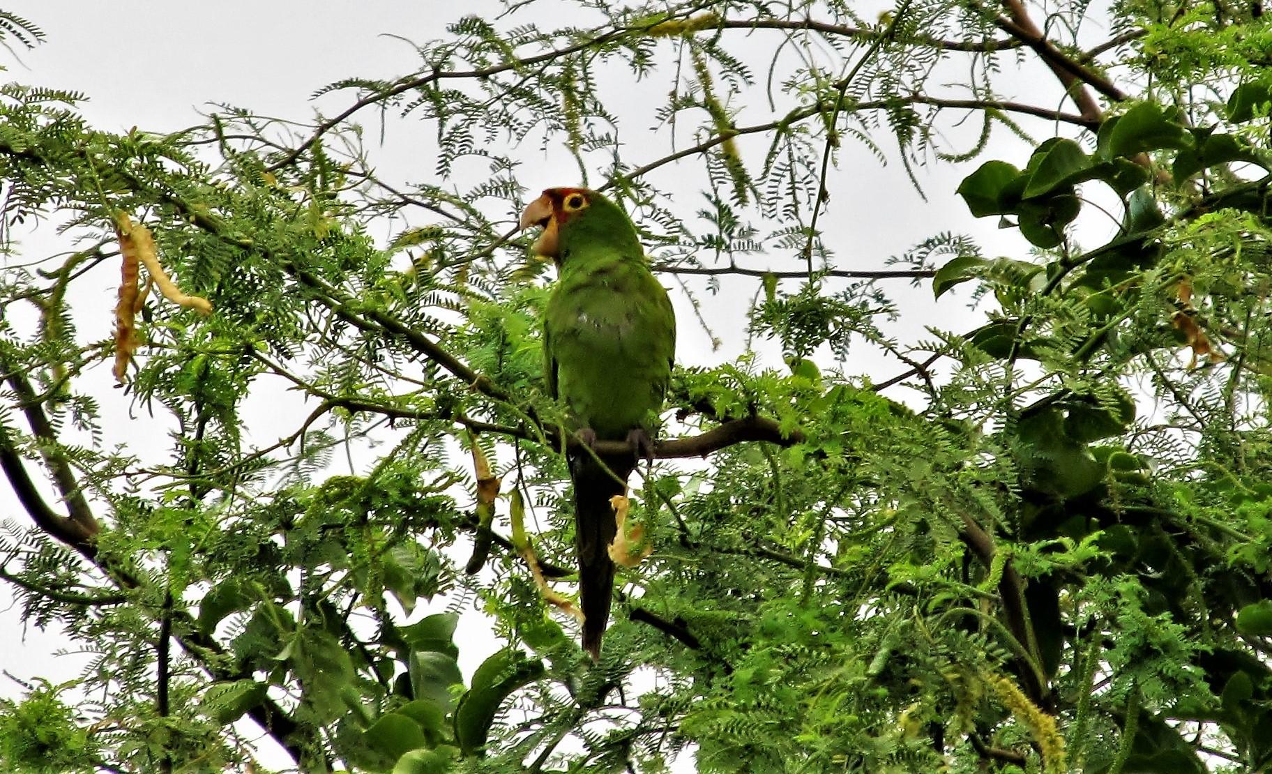 Red Masked Parakeet