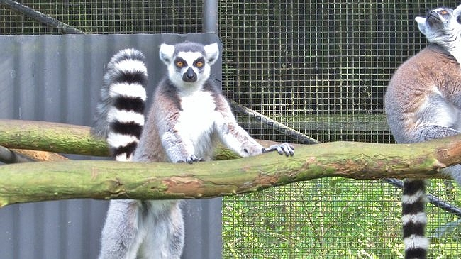 Curious ring-tailed lemurs at the Pana'ewa Rainforest Zoo near Hilo