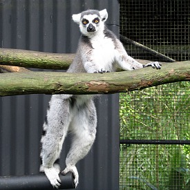 Ringtailed Lemur at Pana'ewa Rainforest Zoo