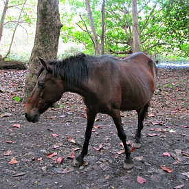 Horses roam free in Waipi'o Valley
