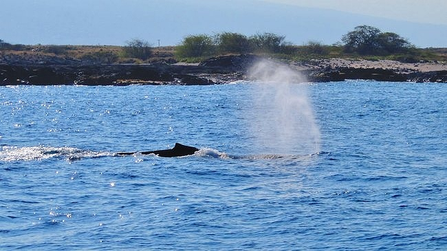 Humpback Whale on the Big Island