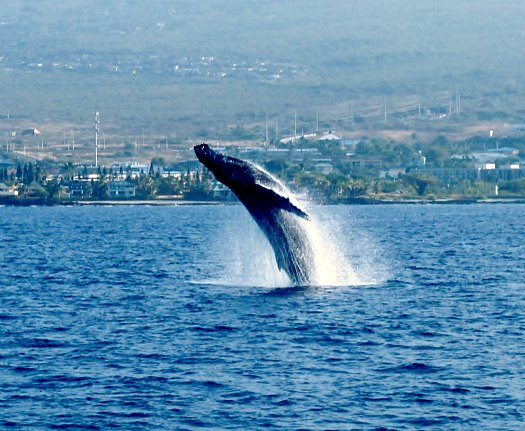 Humpback Whale watching in Hawaii