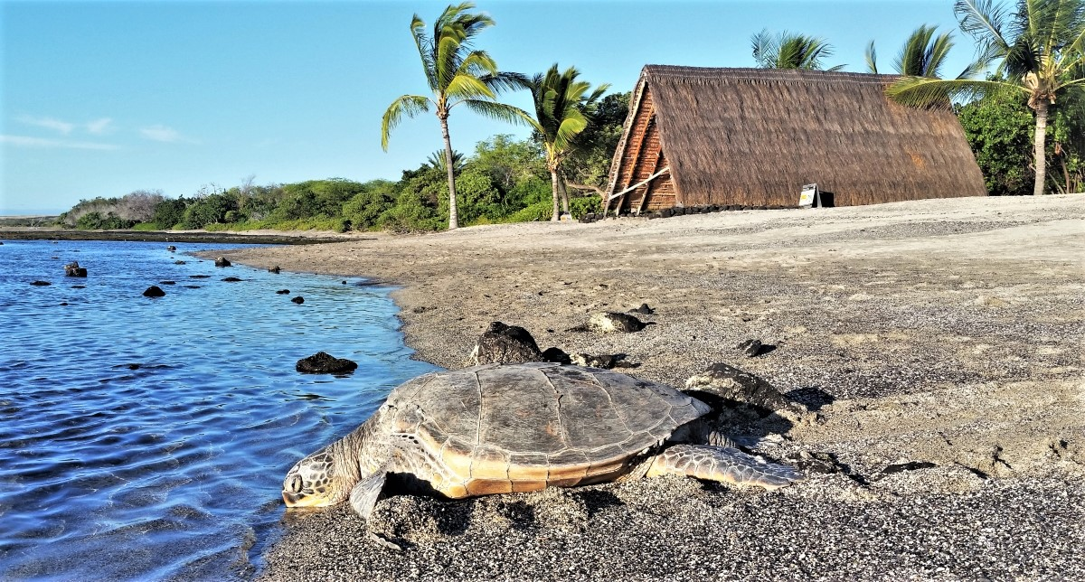 Honu - green sea turtle at Ai'opio Beach