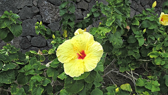 Yellow Hawaiian Hibiscus