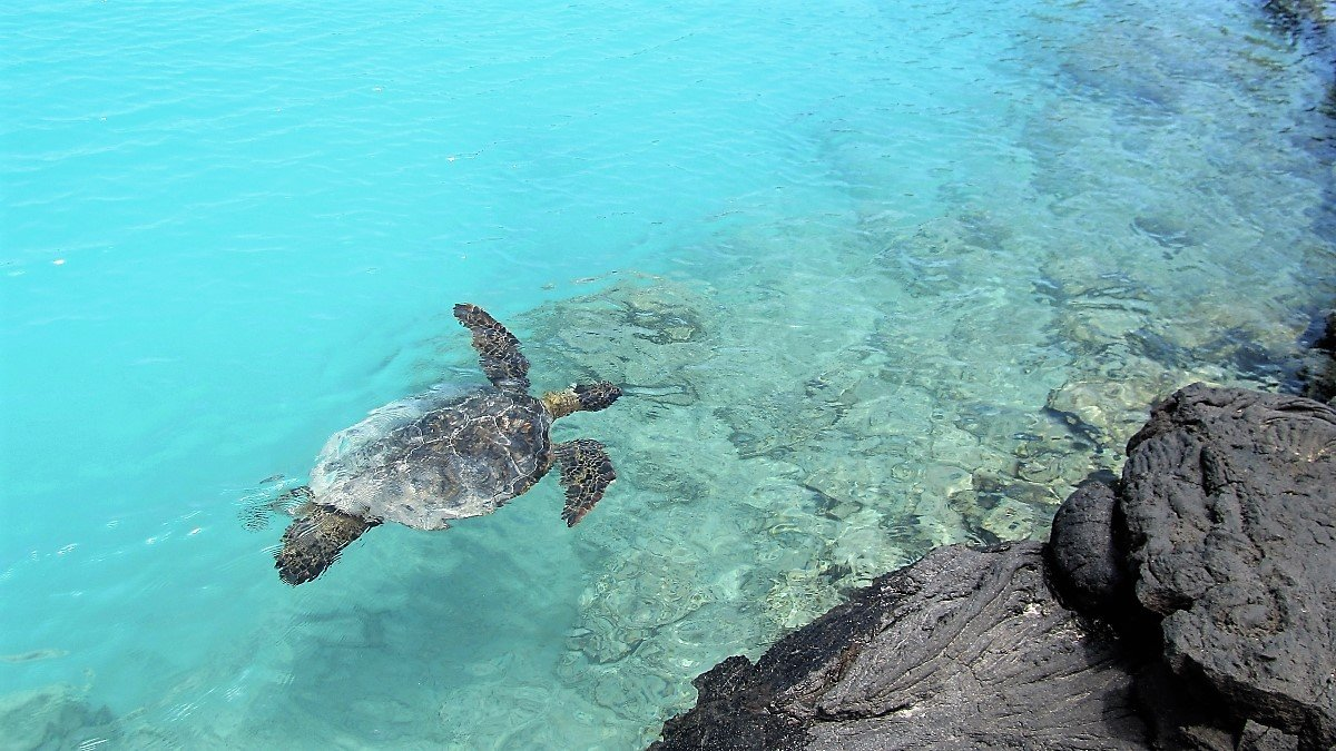 Honu (green sea turtle) swimming in Kiholo Bay