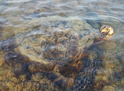 Honu - Green Sea Turtle