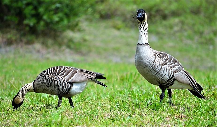 Hawaiian goose Nene