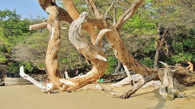 Beach 69 Kiawe Tree