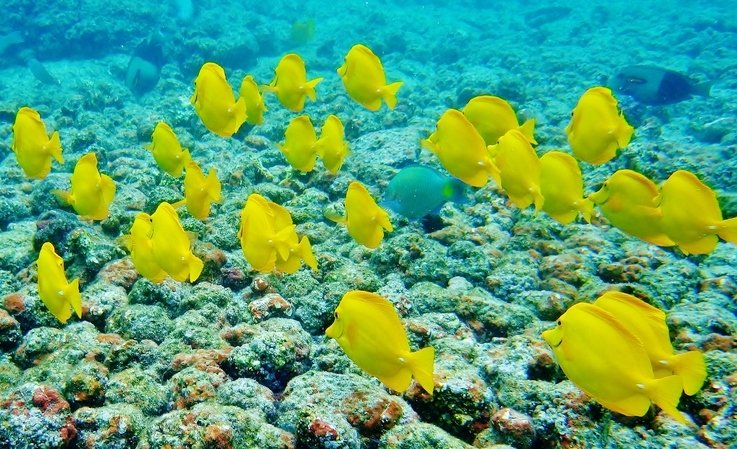 Yellow Tang, Hawaii snorkeling