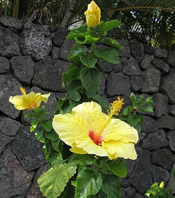 Hawaii State Flower Yellow Hawaiian Hibiscus
